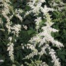 Astilbe xarendsii Bridal Veil 36 False Spirea perennial plants in tray Zone 3-9