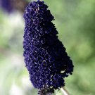 Buddleia davidii Black Knight 50 Butterfly Bush perennial plants Zone 5-10