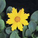 Coreopsis auriculata Nana 72 perennial plants Product USA Tickseed Zone 4-9