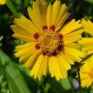Coreopsis grandiflora Baby Sun 72 perennial plants tray Tickseed Zone4-9
