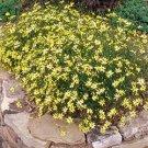 Coreopsis Moonbeam 72 perennial plants 1992 Winner Tickseed Zone 4-9