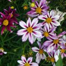 Coreopsis Big Bang Cosmic Evolution 72 perennial plants Tickseed Zone 4-8