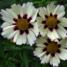 Coreopsis Big Bang Star Cluster 72 perennial plants Tickseed Zone 5-9