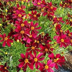 Coreopsis PermaThread Red Satin 72 perennial plants Tickseed Zone 5-9