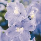 Delphinium grandiflorum Summer Blues 72 plants Larkspur Zone 3-8