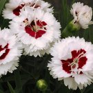 Dianthus Coconut Surprise 72 perennial plants wholesale plug tray Pinks Zone5-8