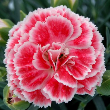 Dianthus Coral Reef Pinks 72 perennial plants SCENTED border pinks Zone 6-9