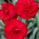 Dianthus EARLY BIRDS Radiance 72 plants plug tray Border Pinks Zone 5-8
