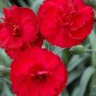 Dianthus EARLY BIRDS Radiance 72 plants plug tray Border Pinks Zone 5-8