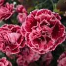Dianthus Sugar Plum 72 perennial plants Product USA lot bulk PINKS Zone 5-8