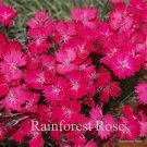 Dianthus Wicked Witch 72 perennial plants Product USA DARK PINKS Zone 4-9