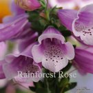 Digitalis purpurea Dalmatian Rose (72) perennial plants wholesale Zone 5-9