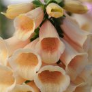 Digitalis purpurea Dalmatian Peach 72 perennial plants wholesale Zone 5-9