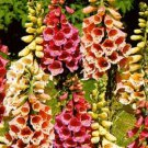 Digitalis purpurea Foxy (72) perennial plants USA grown Foxglove Zone 4-8