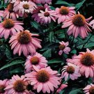 Echinacea purpurea Magnus (72) 1998 WINNER plants Coneflower Zone 3-9