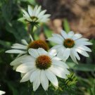 Echinacea PowWow White (72) perennial plants Coneflower Zone 3-9