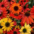 Echinacea Cheyenne Spirit 72 perennial plants Coneflower USA Zone 4-9