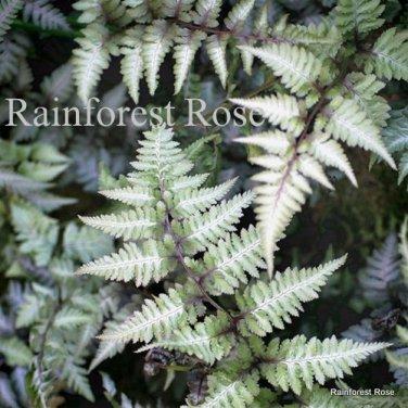 Fern Athyrium nipponicum Metallicum 38 plants USA grown JAPANESE Zone3-9