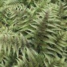 Fern Athyrium nipponicum Red Beauty Lady 38 plants USA grown Zone 4-9