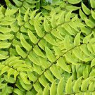 Fern Cyrtomium fortunei Fortune's Cold Hardy 38 plants USA grown Zone 5-10