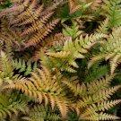 Fern Dryopteris erythrosora 38 Autumn Fern plants USA grown Zone 5-9 bulk lot