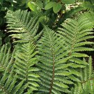 Fern Polystichum polyblepharum 38  Japanese Tassel plants USA grown Zone 6-9