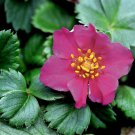 Fragaria Lipstick (50) flowering perennial plants USA grown bulk Zone 3-8