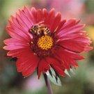 Gaillardia xgrandiflora Burgundy 72 plants USA grown Blanket Flower Zone 3-10