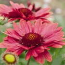 Gaillardia xgrandiflora Arizona Red Shades 72 plants Blanket Flower Zone 3-10