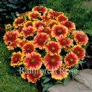 Gaillardia Arizona Sun 72 lot plants USA grown bulk Blanket Flower Zone 3-10