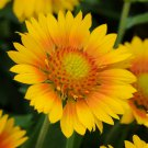 Gaillardia xgrandiflora Mesa Peach 72 plants USA grown Blanket Flower Zone 5-10