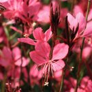 Gaura lindeheimeri Belleza Dark Pink 72 plants USA Wand Flower Zone 5-10