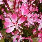 Gaura lindeheimeri Little Janie 72 plants USA Wand Flower Product USA Zone 6-10