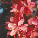 Gaura lindeheimeri Crimson Butterflies 72 plants USA Wand Flower Zone 5-10