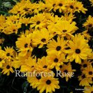 Helianthus Table Mountain 72 plants USA grown Compact Sunflower Zone 6-9