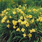 Hemerocallis Happy Returns 38 plants USA grown perennial Daylily Zone 3-9