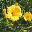 Hemerocallis Stella dOro 38 plants USA grown perennial Daylily Zone 3-9