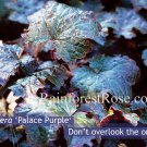Heuchera Palace Purple 72plants 1991 winner perennial Coral Bells Zone 4-9