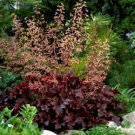Heuchera Melting Fire 72 plants wholesale perennial Coral Bells Zone 4-9