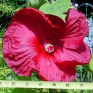 Hibiscus Luna Rose 50 plants Rosemallow 6in wide flowers USA grown Zone 5-9