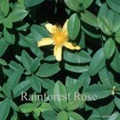Hypericum calycinum 72 perennial plants wholesale St John's Wort Zone 5-9
