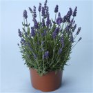 Lavender Lavandula angustifolia Lavance 72 plants USA grown perennials Zone 5-9