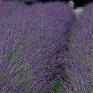 Lavender Lavandula xintermedia Phenomenal Niko 72 plants perennials Zone 5-8