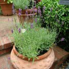 Lavender Lavandula Hidcote 72 plants fragrance USA grown perennials Zone 5-9