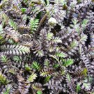 Leptinella squalida  Platts Black 72 perennial plants Brass Buttons Zone 4-10