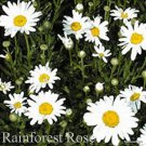 Leucanthemum Snow Lady 72 perennial plants USA grown Shasta Daisy Zone 5-9