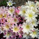 Lewisia cotyldeon Rainbow Mix (72) plants USA grown bulk Bitterroot Zone 5-8