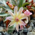 Lewisia xlongipetala Little Peach (72) starter plants USA grown Zone 4-8