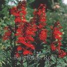 Lobelia cardinalis (72) plants USA grown Compact Cardinal Flower Zone 3-9