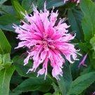 Monarda didyma Balmy Pink 72 perennial plants Bee balm Zone 7-9 FLOWERS
